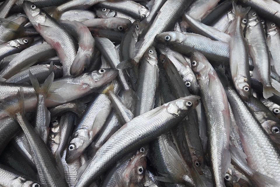 Seimas paliks pamarį be šviežios žuvies?