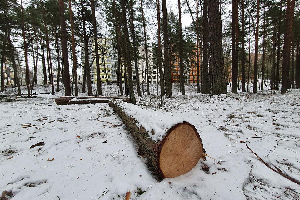 Kertami Girulių miško medžiai – sausuoliai