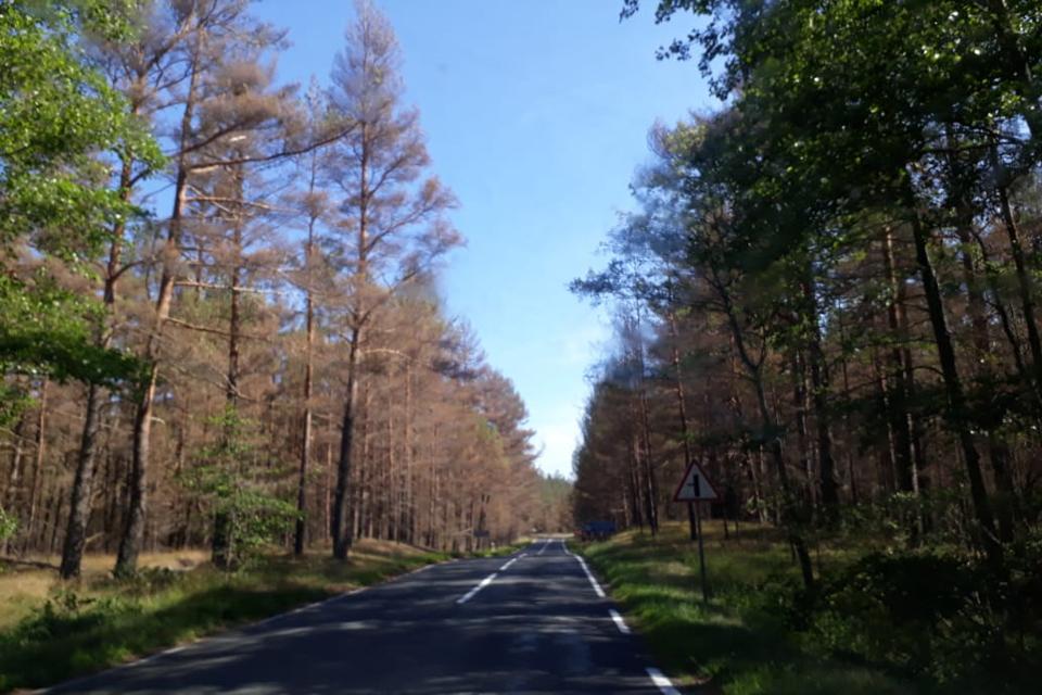 Masiškai džiūsta Kuršių nerijos miškas
