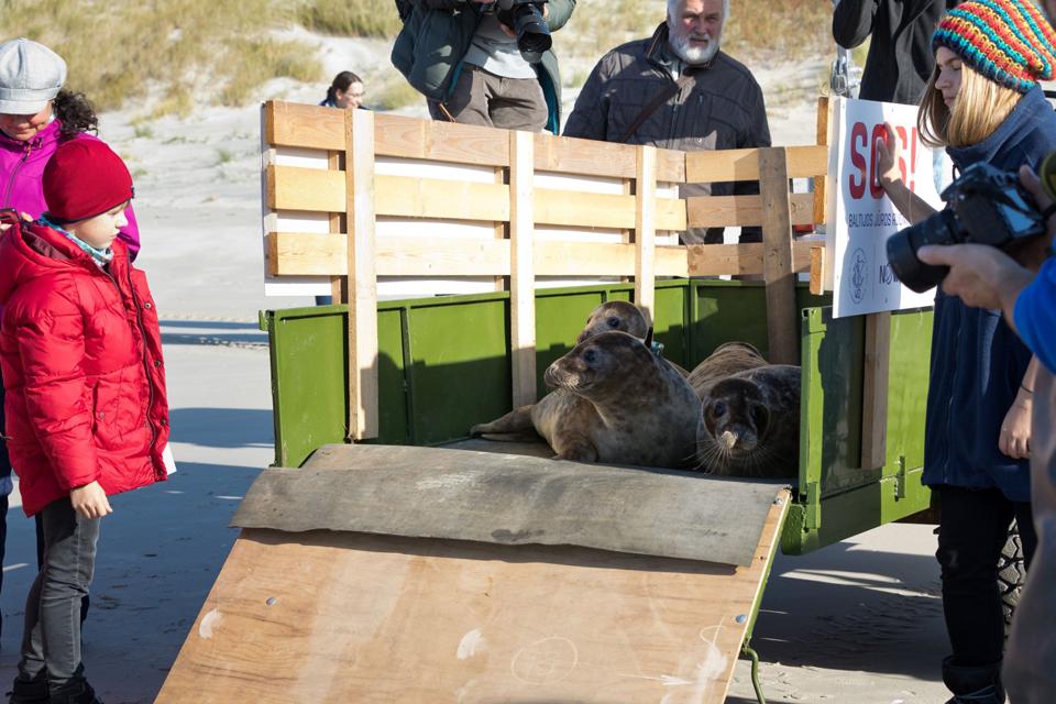 Jūrų muziejus vėl leidžia laisvėn išgelbėtus ruonius