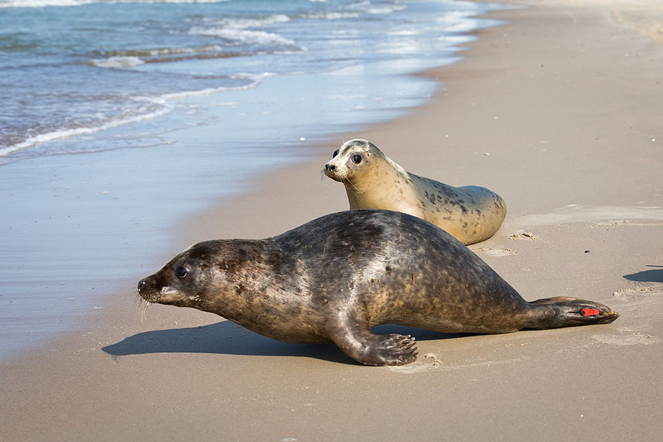 Dvylika sutvirtėjusių ruoniukų sugrįžo į jūrą