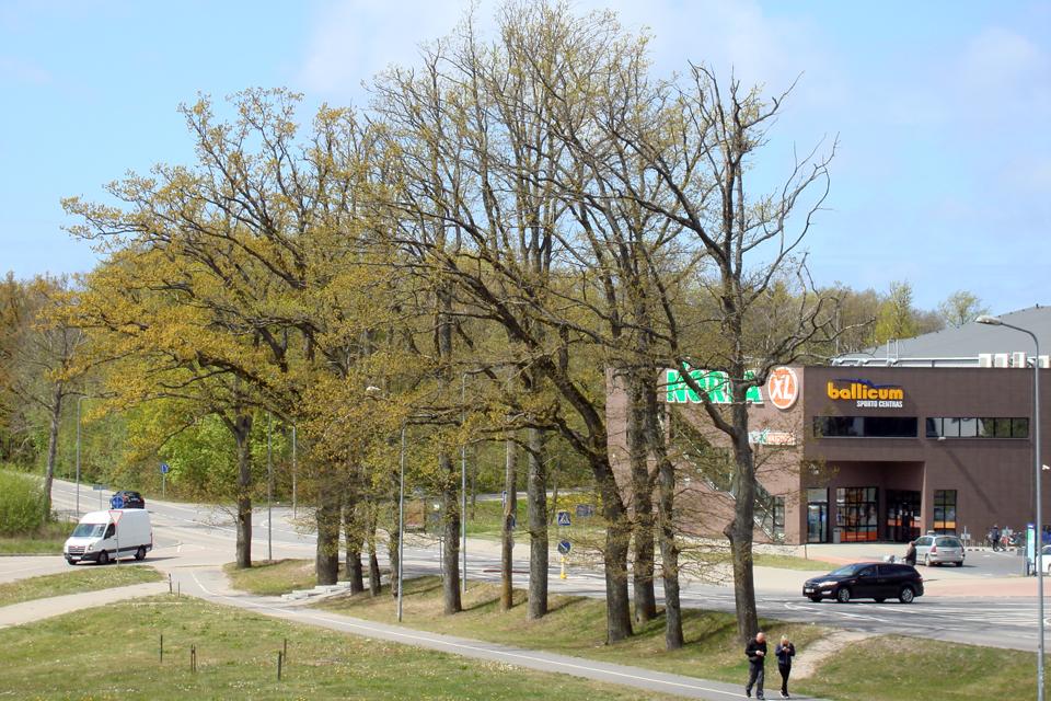 Netinkamai paruoštu projektu norima sunaikinti istorinę Tauralaukio ąžuolų alėją