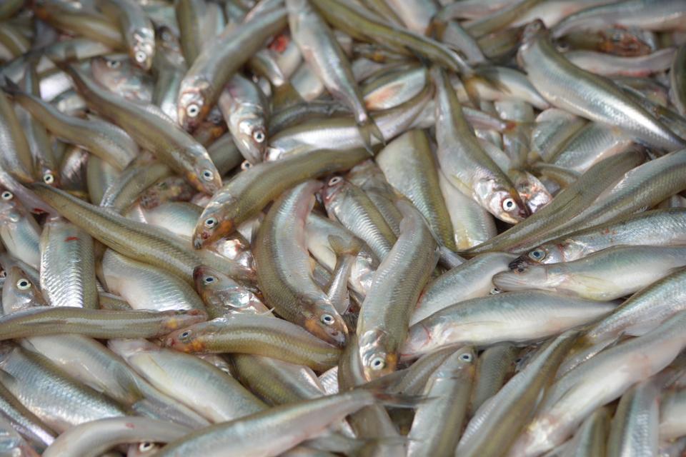 Žvejus ragina registruotis į Stintų šventę