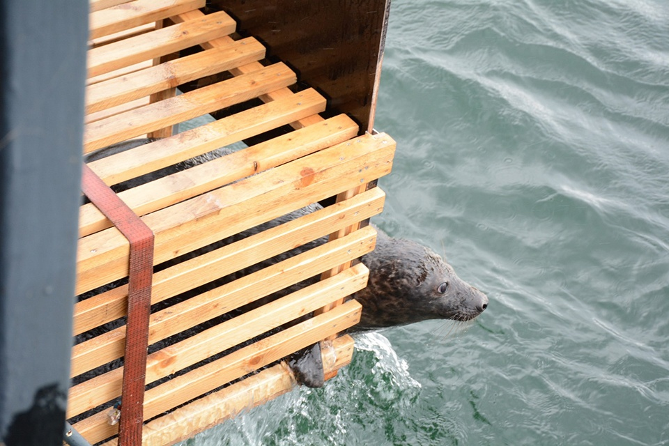 Jūrų muziejų paliko paskutiniai išgydyti ruoniukai