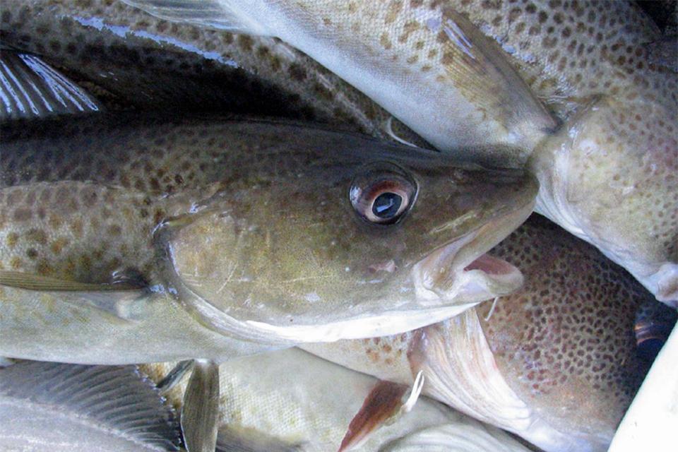 Įsigaliojo draudimas žvejoti Baltijos jūros menkes