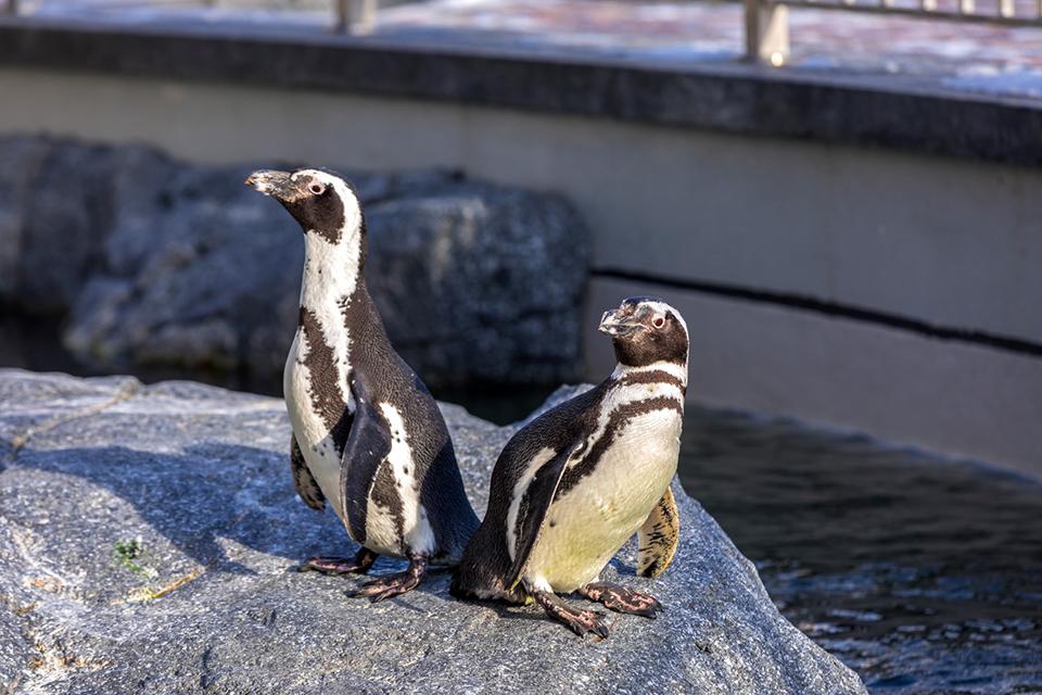 Skambutis pingvinui Martynui