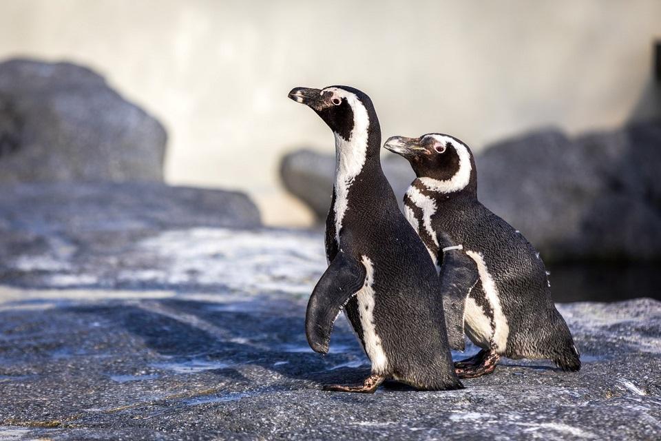 Jūrų muziejuje – nauja pingvinų banda