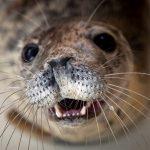 Серых тюленей убивают: кто стоит за гибелью ластоногих обитателей Балтики?