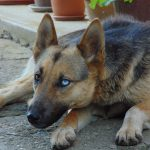 Teismas nepatikėjo kaimyno šunį mirtinai sužalojusio vyro versija