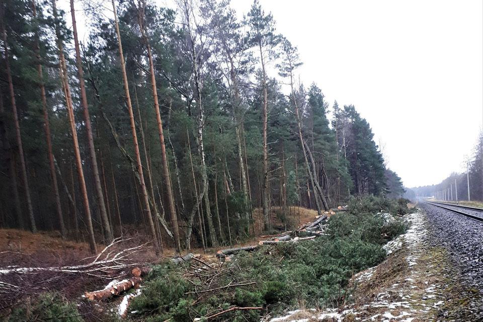 Panika Giruliuose: kodėl prie geležinkelio kertami medžiai?