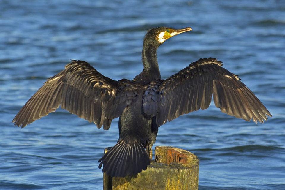 Kuo Seimo narys skiriasi nuo kormorano?