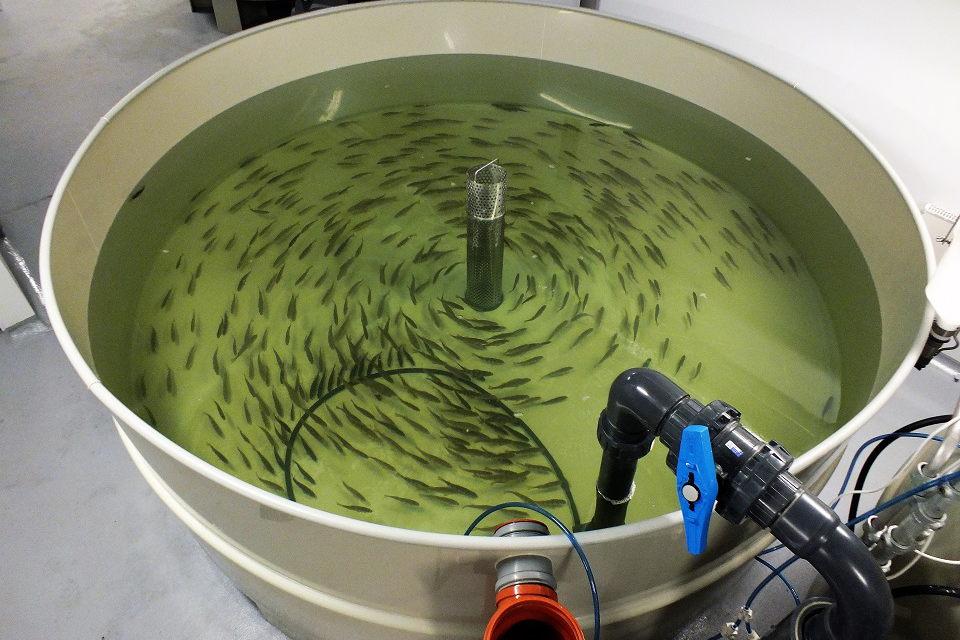 Klaipėdos universitete jau auginamos krevetės