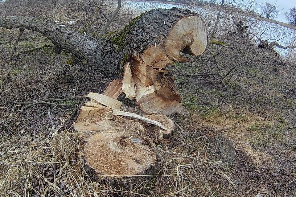 Aplinkosaugininkai skaičiuoja Rusnėje iškirstus  medžius
