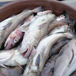 Ribos menkių priegaudą priekrantėje