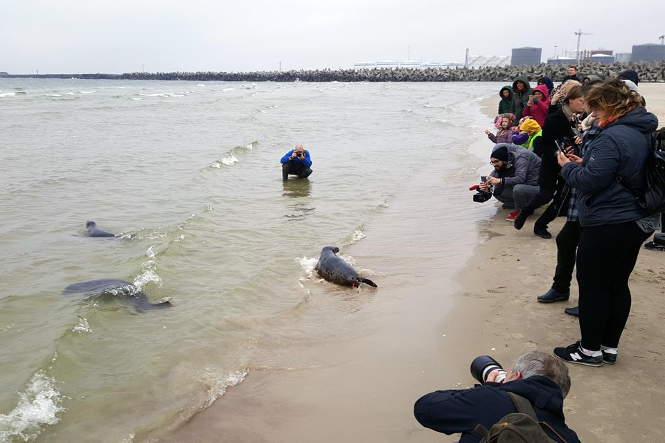 Sustiprėjusius ruonius grąžino į jūrą