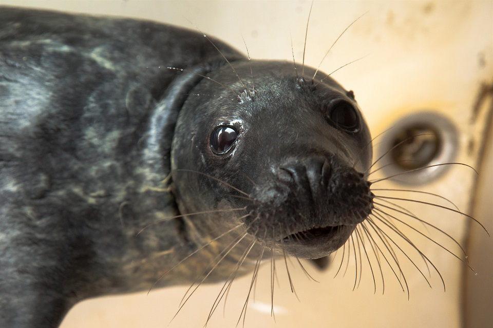 Jūrų muziejuje gydoma 10 ruoniukų