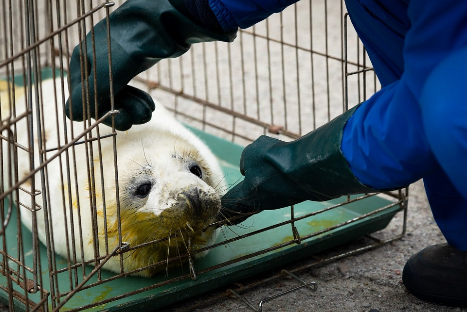 Išgiję ruoniukai į Baltiją pirmą kartą bus išleisti atviroje jūroje
