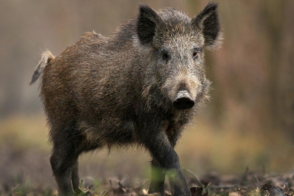 Kiaulių maras artėja prie Klaipėdos
