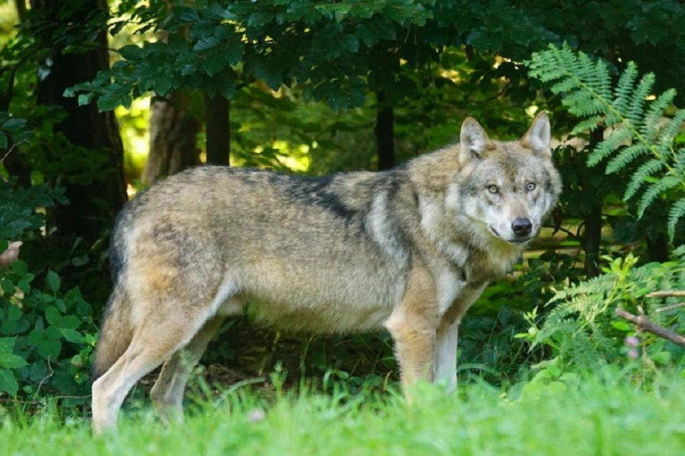 Ūkininkams apsisaugoti nuo vilkų – ES parama