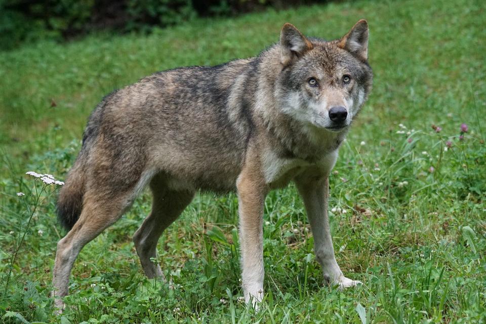 Primena apie kompensacijas nukentėjusiems nuo vilkų