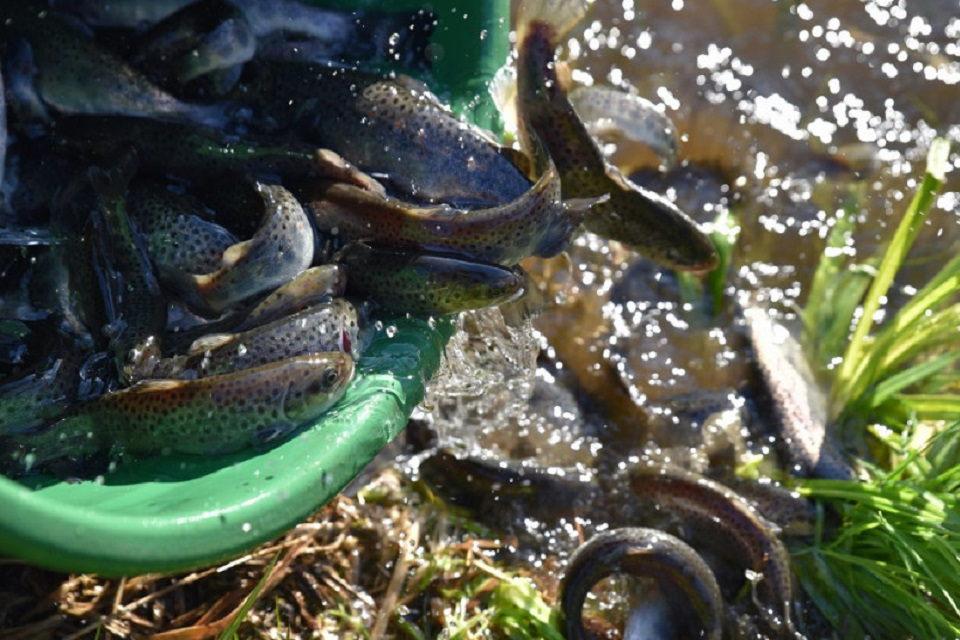 Tūkstančiai lašišų ir šlakių išleista į upes